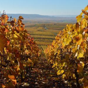 vue des vignes en Champagne